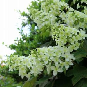 梅雨前の花
