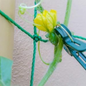 そんなところに雌花咲いてたの!?スイカの雌花の開花見落とす(98日目)