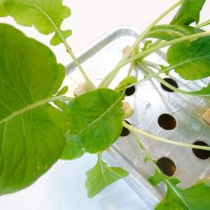窓際菜園の水耕栽培「小松菜」を収穫♪栽培記録まとめ(36日目)