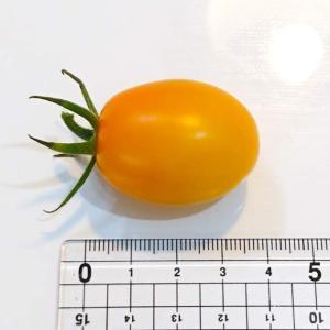 ミニトマト イエローアイコ初収穫!