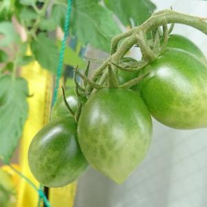 グリーントマトの収穫時期は?色づき始めたサインを発見したかも!?(日目)