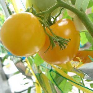 黄色のミディトマト収穫2個目♪完熟させるはずが・・(105日目)