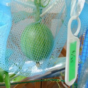 水耕栽培スイカに吊り下げ用のネットを設置!&一昨日の受粉の結果(106日目)
