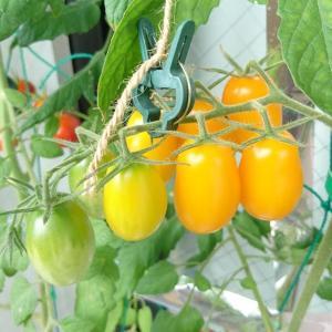 イエローアイコさんまだ伸びる!?ミニトマト今日も収穫♪