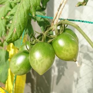 緑色のミニトマト初収穫。黄色と赤も♪(110日目)