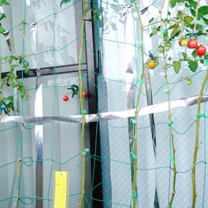 ミニトマト収穫ラッシュ後の静けさ(118日目)