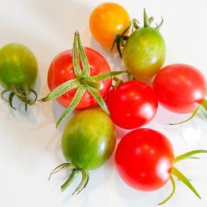 本日収穫のミニトマト。