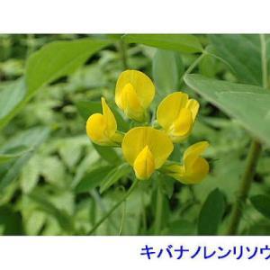 伊吹山で花を散策