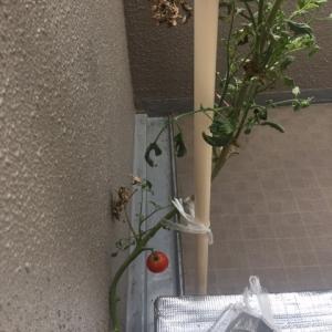 大玉トマトの脇芽の挿し木の撤収