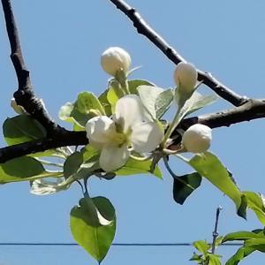 【写真で紹介:姫リンゴの育て方】清楚な白い花がたくさん咲く