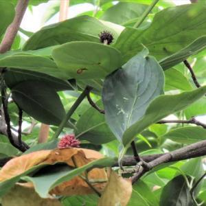 ベニヤマボウシに赤い実ができていた。(9月27日)