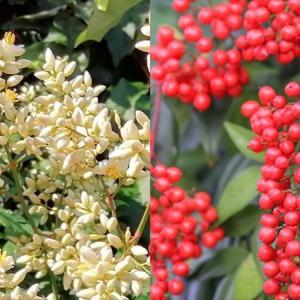 【写真で紹介:ナンテンの育て方】真っ赤な実が付く縁起のいい木