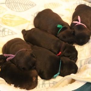 02/26生まれのブリンドル6匹兄妹の最新の写真が届きました!