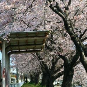 桜 仙台市 バス停「山の寺一丁目公園前」バス通りの桜並木 (宮城県の桜064)