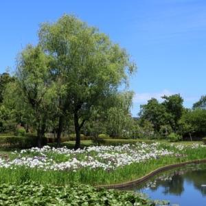 ハナショウブ、台山公園親水広場ひょうたん池の花菖蒲園、角田市