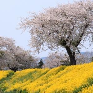 桜 登米市 豊里水辺の公園 (宮城県の桜065)
