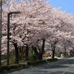 桜・ 仙台市 将監の桜並木 (宮城県の桜061)