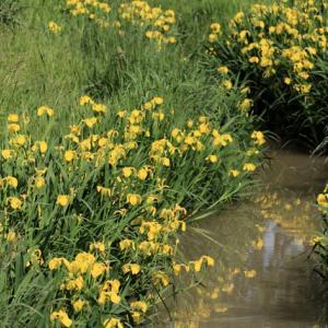 島田今泉という場所で見かけたキショウブの花、角田市