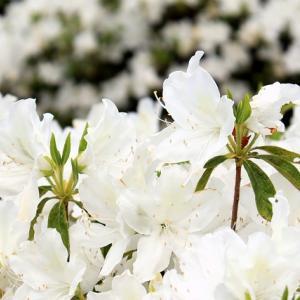 白ツツジの咲く「緑が丘第1公園」、宮城県白石市