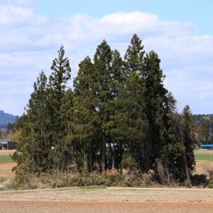 栗駒猿飛来二本木で見つけた杉のかたまりの風景