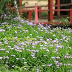 ヒメシャガの花が咲く「愛敬院」、宮城県丸森町