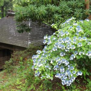 みごとなアジサイ風景!大獄山「興福寺」、宮城県登米市