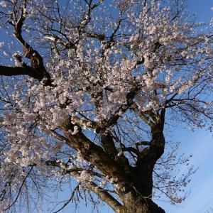 桜が満開なところで…夏の服を考える。