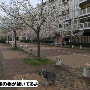 散歩道の桜路