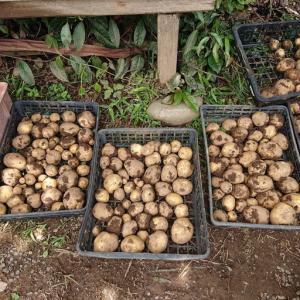 【自然体験】田植え、ではなく、ジャガイモ掘りに。のはずが・・・。