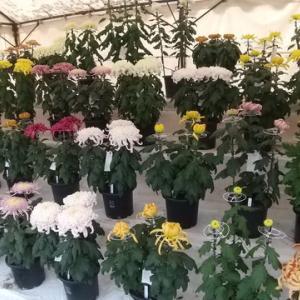 小諸懐古園で「菊花展」開催中(11月3日まで)