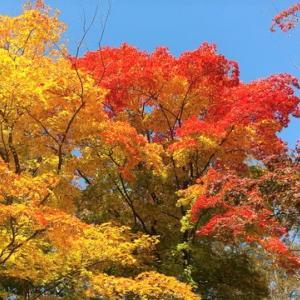 ただいま紅葉真っ盛り!小諸懐古園「紅葉(もみじ)まつり」(11月23日まで)