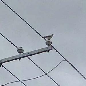春とともに日本に渡ってくるオオジシギ 野鳥界のパンクロッカー