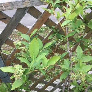 2020年知床に初夏が来た そして果実の季節到来!