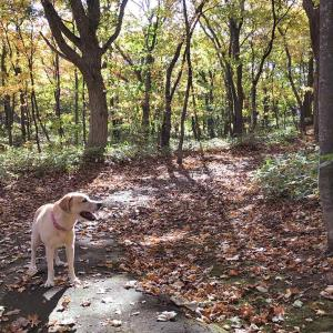 紅葉の林を犬は疾駆する 知床2020紅葉