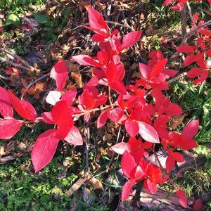 庭の炎、ブルーベリーの紅葉は今が見頃。そして2020年最後の実の収穫