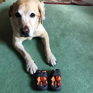 靴を履いたイヌ 犬にも衣装、犬の靴を買ってしまった