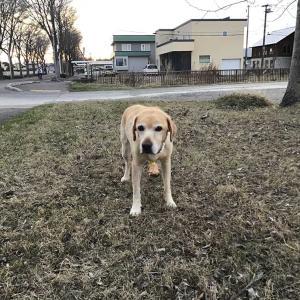日ごとに出来る事が減ってくる ラブラドール犬・カーシャ 8歳と11カ月