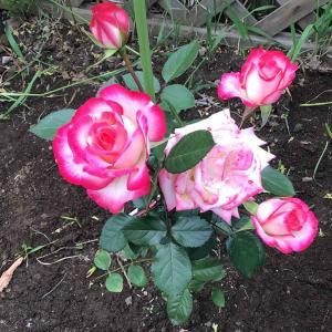 カーシャのバラの園と花盛りの我が庭2021年春