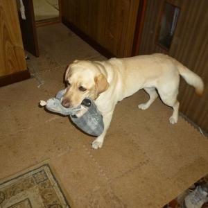 「カーシャの応援」ラブラドール犬とスリッパの思い出 壊された30組のスリッパ