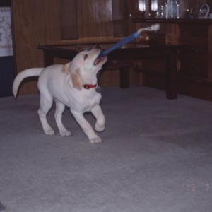 ラブラドール犬は破壊王 カララ、玄関ホールの床を掘る。大穴を開ける