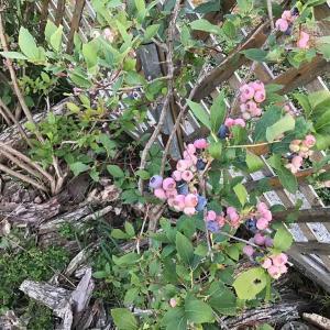 奇妙な2021年の夏は終わった エキナセアは咲かず ブルーベリーは早熟