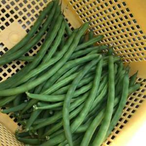 サヤインゲンの収量が上がった理由その⑩二番果まで収穫