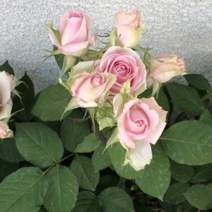 ハダニの大被害を受けた薔薇を復活・回復させる!