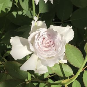 【薔薇】ガブリエルの2番花が開花!花の大きさや管理方法は?