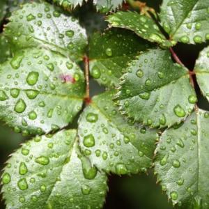 梅雨時期は薔薇の葉を整理する最適な時期 -黒星病とハダニの防止-