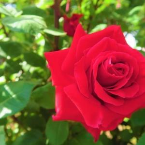 失敗を防ぐ薔薇の夏剪定手順