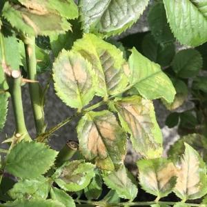 【薔薇】夏は剪定の直後に葉が変色してしまうことがある