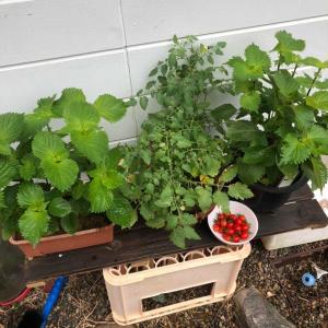 青紫蘇とミニトマト栽培🍅