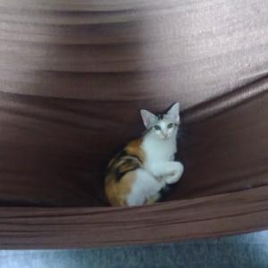 人間用ハンモックがお気に入りの子猫
