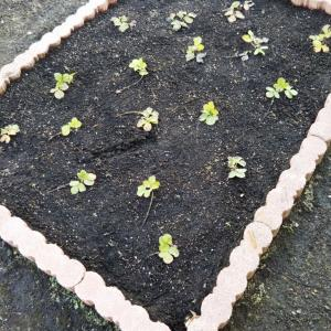 <家庭菜園>越冬したイチゴの苗が顔を出しました☆今年は去年より多い42株です♪